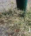 Eragrostis2.jpg