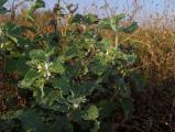 1483 Marrubium vulgare.JPG
