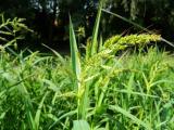 Echinochloa crus-galli1.jpg