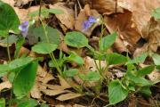 Viola riviniana03.jpg