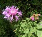 Centaurea stenolepis.jpg