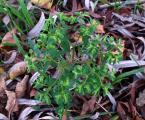 Euphorbia taurinensis2 közeli.jpg