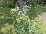 Cickafark_f?-Achillea_millefolium.jpg