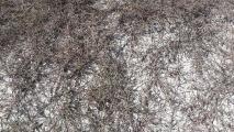 Polygonum graminifolium.jpg