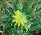 fabaceae1.JPG