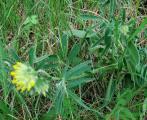 fabaceae3.JPG