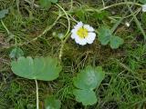 Ranunculus.jpg
