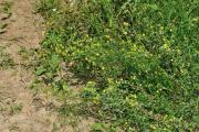 Trifolium aureum503.jpg