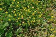 Trifolium aureum508.jpg