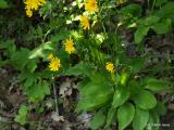 Hieracium  racemosum.1.JPG