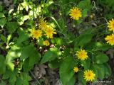 Hieracium  racemosum.2.JPG