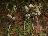 Hieracium  racemosum.T.JPG