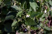 20070930_Solanum_nigrum_2_SoproniJ.jpg
