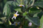 20070930_Solanum_nigrum_4_SoproniJ.jpg