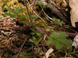 Potentilla heptaphylla (vörösszárú pimpó) DSCF8274 - Jakab-hegy 2011. 04. 10..JPG