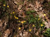 Potentilla heptaphylla (vörösszárú pimpó) DSCF8290 - Jakab-hegy 2011. 04. 10..JPG