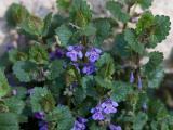 Glechoma hederacea_SoproniJ_20070408.jpg