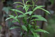 Salix eleagnos 1.jpg