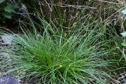 Carex pilulifera 2.jpg