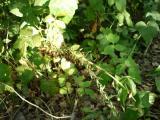 Epipactis terméses.jpg