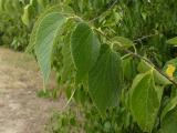 Celtis occidentalis.JPG