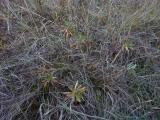 Euphorbia glareosa.JPG