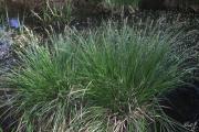 Carex appropinquata 2.jpg