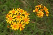 Inula sp. virág 14-05-2011 10-32-53.JPG