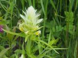 mezei csormolya fehér változat2.jpg