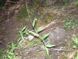 P1010115Poaceae.JPG