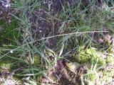 P1010132cf Sporobolus africanus.JPG