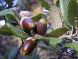 Quercus ilex 0889.JPG