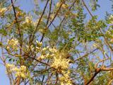 Caesalpiniaceae.JPG