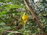 Fabaceae (5).JPG