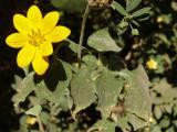 Asteraceae (4).JPG