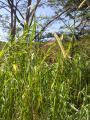 Poaceae (7).JPG