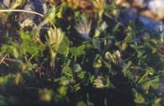 Trifolium - Kopie.jpg