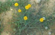 Asteraceae - Kopie.jpg
