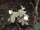 Fabaceae.JPG