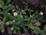 Asteraceae (11).JPG