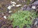 P1010310Asteraceae.JPG
