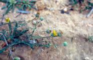 Liguliflorae - Kopie.jpg