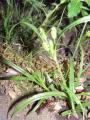 Cyperaceae (3).JPG