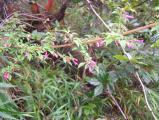 Fuchsia (2) - Kopie.JPG_2.jpg
