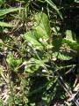 Asteraceae (12) - Kopie.JPG
