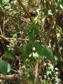 Asteraceae (16) - Kopie.JPG