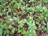 Asteraceae (10) - Kopie.JPG