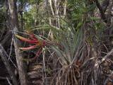 Tillandsia fasciculata_Cuba_Zapata swamp.JPG