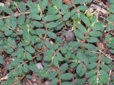 1042 Euphorbia maculata.JPG