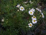 Argyranthemum hierrense (2).JPG